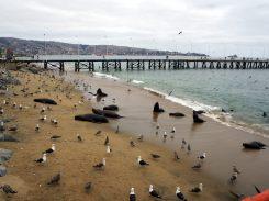 Des lions de mer ! Eux aussi sont attirés par les déchets de pêche