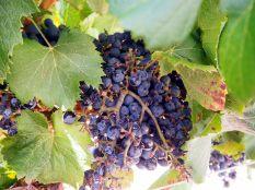 Les grapes de raisin