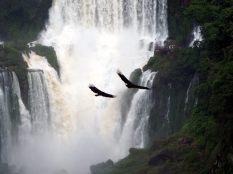 Vol d'urubus noirs (Coragyps atratus, en anglais black vulture) au dessus des chutes d'eau