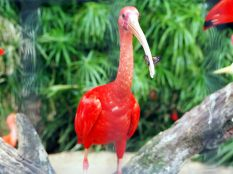 """Ibis rouge (Eudocimus ruber), appelé """"Guara"""" ici"""