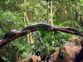 Un anaconda se prelassant sur une branche