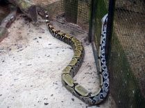Un Boa constricteur (Boa constrictor)