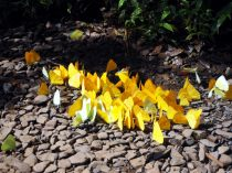 Des centaines de papillons rassemblés à un point d'eau