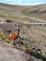 Une vigogne dans le Nord Ouest de l'Argentine
