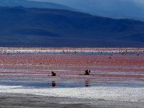Vol de flamants roses sur la Laguna colorada, Sud Lipez