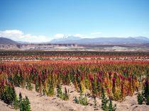 Champs de quinoa