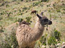 Des Lamas en pature sur l'Isla de la Luna, lac Titicaca