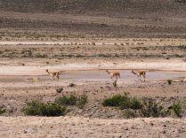 Vigognes au bord de la route vers le Canyon de colqua
