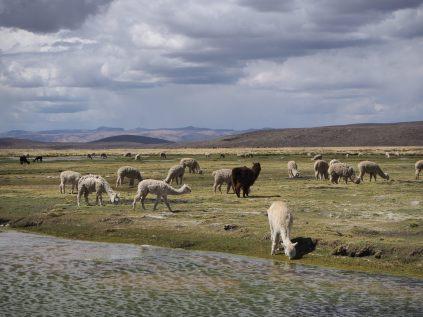 Vigognes et Lamas sur la route vers le canyon de colca (Pampa cañahuas ?)