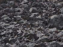 Bien camouflé dans la roche, un viscache