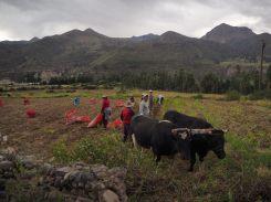 Des paysans en train de récolter un champ