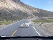 Attention aux lamas !