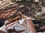 Lions de mer (Otarie à crinière - Otaria flavescens)