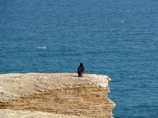 Urubu à tête rouge (Cathartes aura), réserve Nationale de Paracas