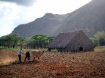 Un paysan laboure son champ de tabac, Vinales