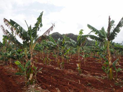 Plantations de bananes, Vinales
