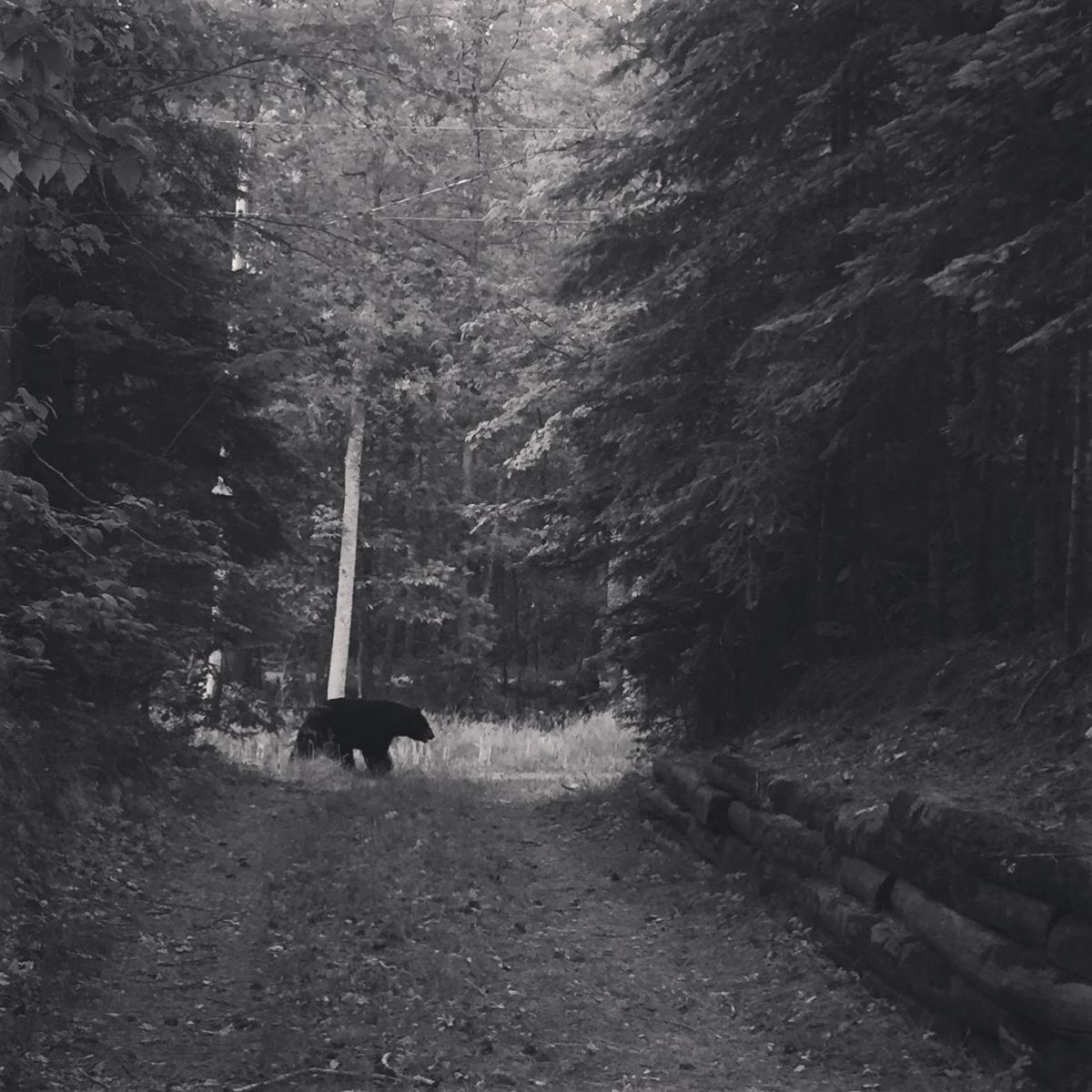 A black bear roams a cabin road in northern Minnesota.