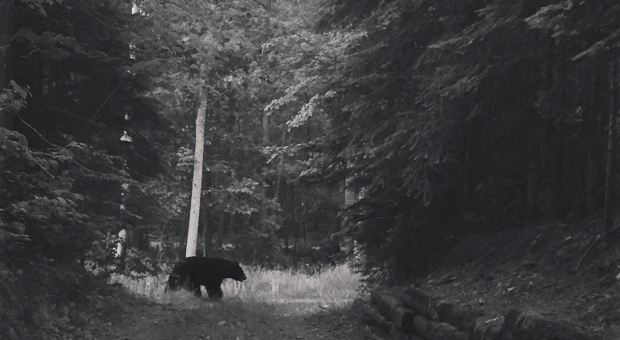 A black bear roams a cabin road in northern Minnesota.