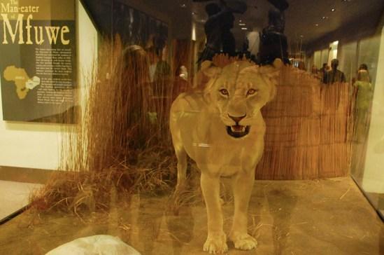 Man-eater of Mfuwe lion close-up