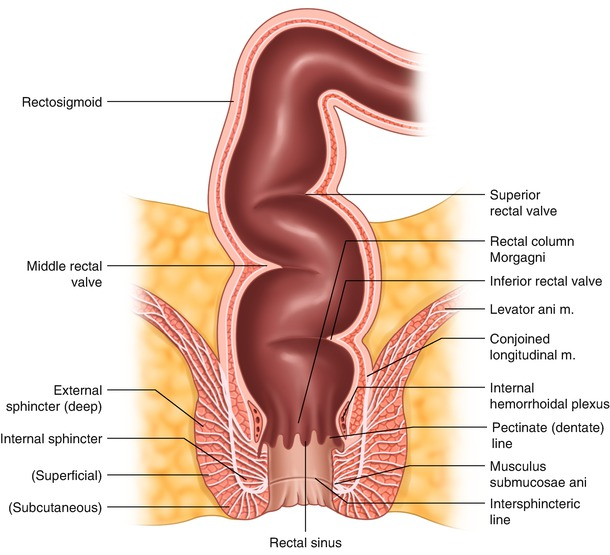 Rectal Anatomy Clinical Perspective Oncohema Key