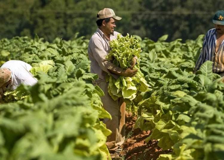 Mexican day laborers picking tobacco in North Carolina. Photo: nacion321.com