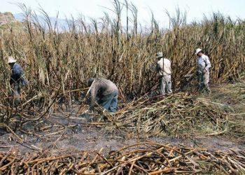 Sugar harvest in Cuba. Photo: Maite Corsín.