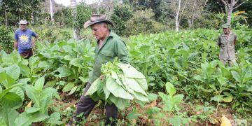 Tobacco harvest in Viñales, Pinar del Río. Photo: Kaloian / Archive.