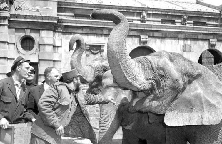 Fidel lanza maní a un elefante en el Zoológico del Bronx en su recorrido por Nueva York. Foto: Hal Mathewson.