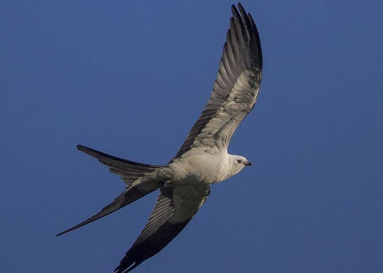 El gavilán cola de tijera está entre las especies de aves que migran con mayor fuerza desde Norteamérica hacia zonas del oriente de Cuba. Foto: José Miguel Pantaleón / flickr.com