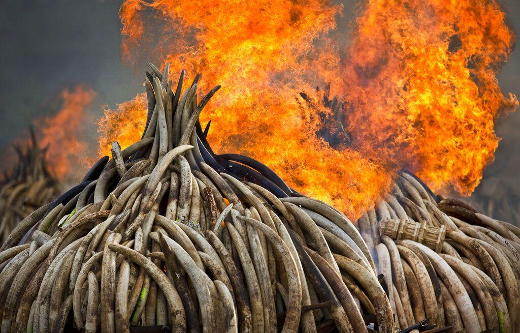 En esta imagen de archivo, tomada el 4 de septiembre de 2017, piras de marfil arden en el Parque Nacional de Nairobi, en Kenia. (AP Foto/Ben Curtis)