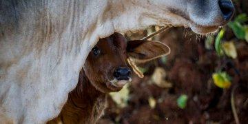 Una vaca y su cría en Cuba. Foto: Fernando Medina.
