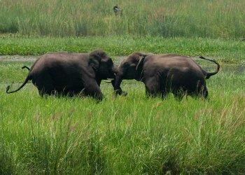 Dos elefantes salvajes, llegados con una manada a un humedal cerca de la estación de tren de Thakurkuchi, a las afueras de Gauhati, Assam, India, el 7 de junio de 2017. Foto: Anupam Nath / AP.