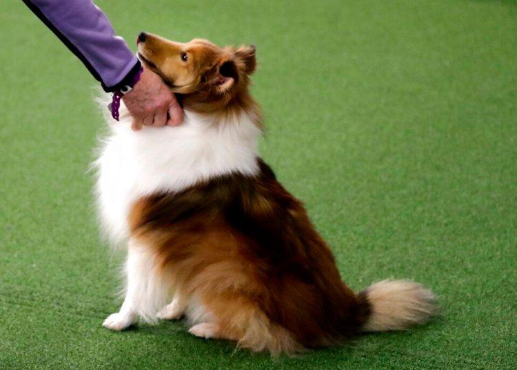 Uno de los concursantes en el Concurso Westminster Kennel Club Dog Show en Nueva York el 9 de febrero del 2019. Foto: Wong Maye-E / AP.