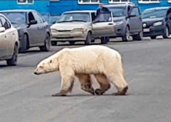 Esta imagen tomada de un video publicado por @putoranatour/Oleg Krashevsky el 17 de junio de 2019 muestra un oso polar cruzando una calle en Norilsk, Rusia. Un oso polar demacrado ha sido avistado en una ciudad industrial en Siberia, muy al sur de su territorio de caza habitual.