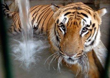 En esta imagen de archivo, un tigre se refresca en su recinto en el zoo de Ahmadabad, India. Foto: Ajit Solanki / AP / Archivo.