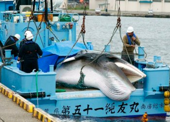 Una ballena es descargada en el puerto de Kushiro, en el extremo norte de la isla de Hokkaido, Japón, el lunes 1 de julio de 2019. Foto: Masanori Takei / Kyodo News vía AP.