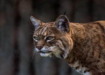 Gato montés, especie en peligro de extinción. Foto: Telemundo Denver.