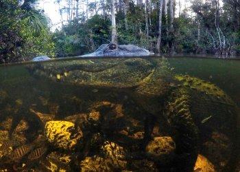 En esta imagen, tomada el 30 de octubre de 2019, un caimán se sumerge en aguas de la Reserva Nacional Big Cypress en Florida. Foto: Robert F. Bukaty / AP.