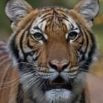 Una tigresa de zoológico en Nueva York dio positivo por la COVID-19
