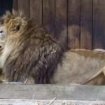Seis leones y tres tigres del zoológico de Washington contrajeron COVID-19