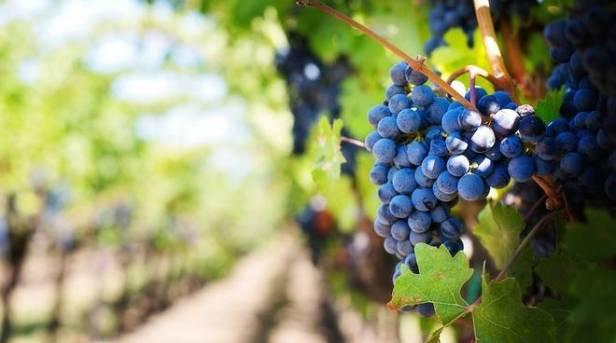 uva-vigna-vino-169861.660x368