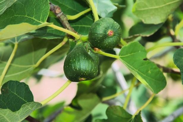 figs-2662883_960_720.jpg