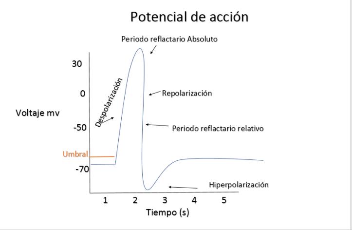 Potenciales De Accion Comunicacion Entre Neuronas Ondas Y Particulas