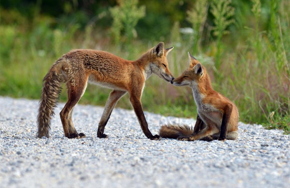 red fox bonding