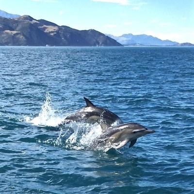 Kaikoura Dolphin Swimming Featured Image
