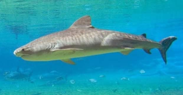 tiger-shark-11