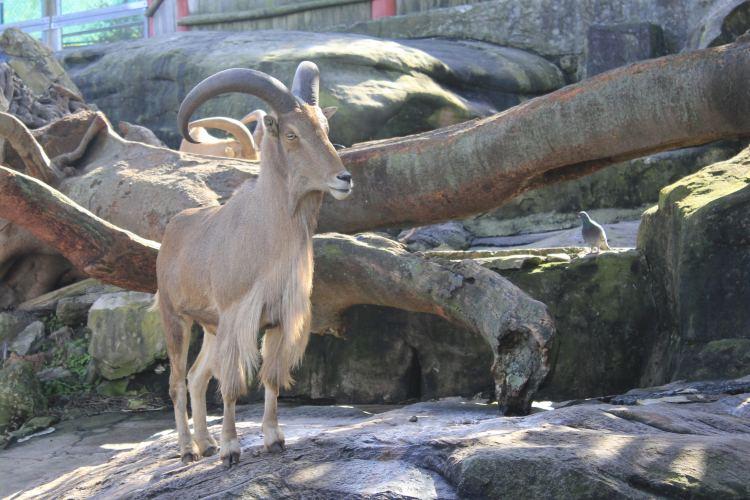 Rams at Sydney Taronga Zoo