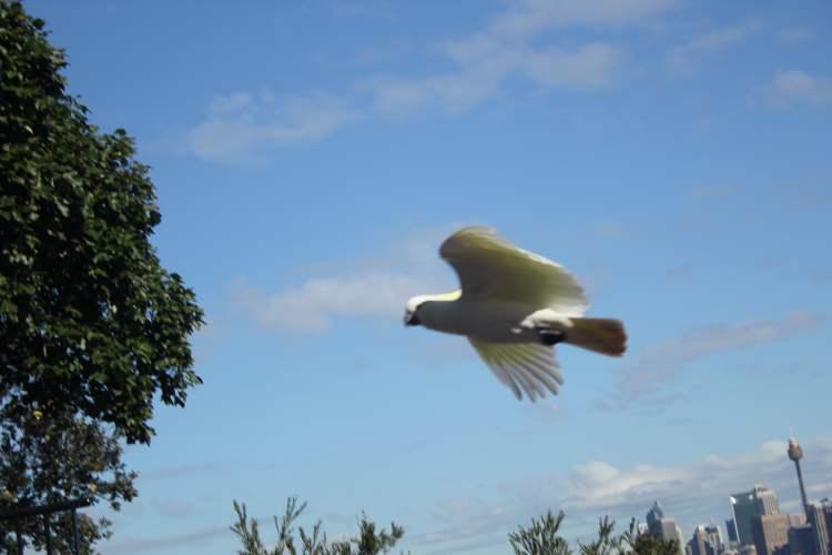 Free-Fly Bird Show at Sydney Taronga Zoo