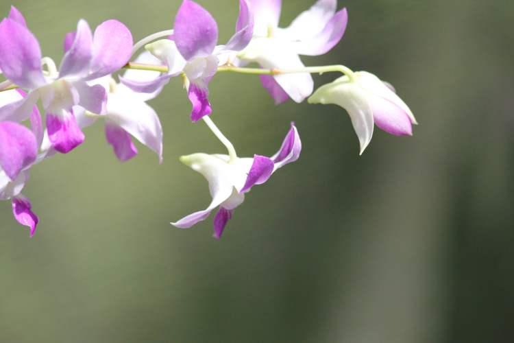A Fiji Must: Garden of the Sleeping Giant | Orchid Garden