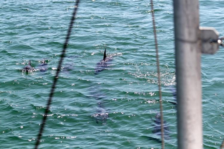 Dolphin Pod in Port Stephens